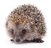 Hedgehog on white. royalty free stock photo