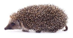 Hedgehog on white. Stock Photo
