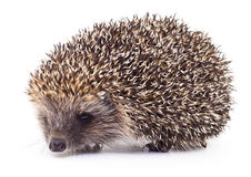 Hedgehog on white. Stock Photography