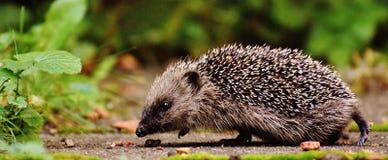 Hedgehog in wild Royalty Free Stock Image