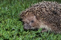 Hedgehog, wild animal with cute nose close up. Native European adult little hedgehog in green grass stock photo