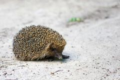 Hedgehog in the wild Stock Photo