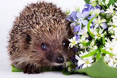 Hedgehog with wild flowers Royalty Free Stock Images