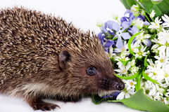 Hedgehog with wild flowers Stock Photos