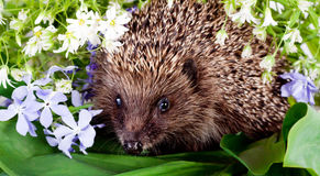 Hedgehog with wild flowers Royalty Free Stock Photography