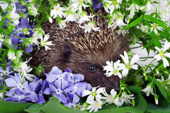 Hedgehog with wild flowers Royalty Free Stock Photos