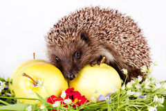 Hedgehog, Wild Flowers And Apples Royalty Free Stock Photo