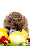 Hedgehog, wild flowers and apples Royalty Free Stock Images