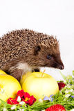 Hedgehog, wild flowers and apples Stock Photography