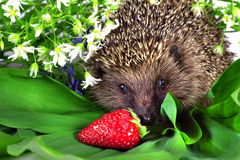 Hedgehog, wild flowers and ripe strawberry Stock Image