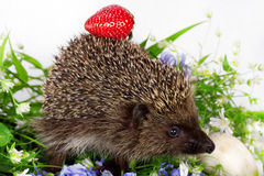 Hedgehog, wild flowers and ripe strawberry Royalty Free Stock Photo