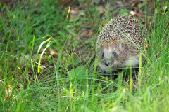 Hedgehog in the wild Royalty Free Stock Photography