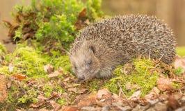 Hedgehog, wild, native hedgehog in natural woodland setting. Hedgehog, Wild, native, European hedgehog  Scientific name:  Erinaceus  Europaeus in natural royalty free stock photo