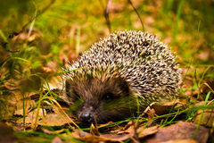 Hedgehog in wood. Small hedgehog in wood close up Stock Image