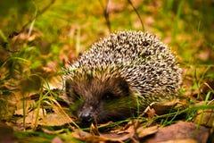 Hedgehog in wood stock image