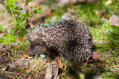 Hedgehog in wood. Small hedgehog in wood close up Royalty Free Stock Images