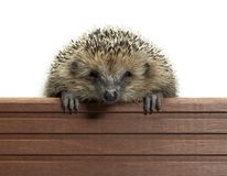 Hedgehog and wooden panel Royalty Free Stock Photo