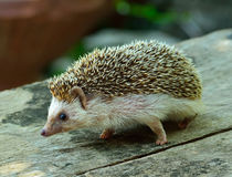 Hedgehog. On the wooden table Royalty Free Stock Images