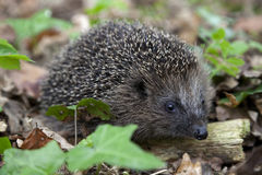 Hedgehog in the woods Royalty Free Stock Photo