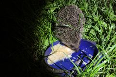 Hedgehog in the yard close-up stock photos
