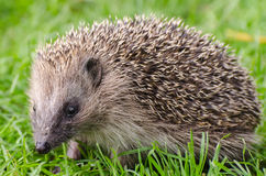 Hedgehog. Young hedgehog grazing and exploring the environment stock photo