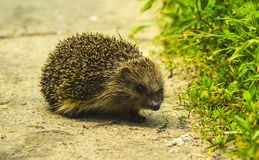 Hedgehog. Young hedgehog in natural. Curious hedgehog walks in the woods on a sunny summer day. Stock Photo