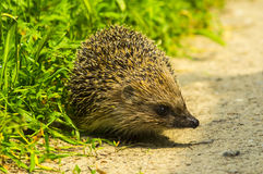 Hedgehog. Young hedgehog in natural. Stock Photo