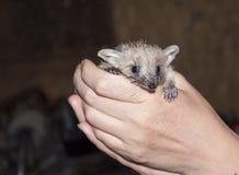 Hedgehog Royalty Free Stock Photos