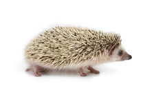 Hedgehog. Young hedgehog isolated on white Stock Photography