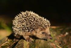 Hedgehog. Young hedgehog in natural habitat Royalty Free Stock Images