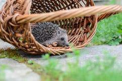 Hedgehogin joven la cesta Fotografía de archivo