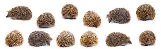 hedgehogs Стоковая Фотография