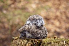 hedgehogs 2 Стоковые Фотографии RF