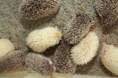 hedgehogs Стоковые Фото