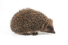 hedgehogs Стоковое Изображение RF