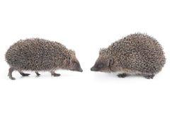 hedgehogs Стоковые Изображения
