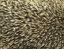 hedgehogs Стоковое фото RF