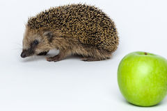 Hedgehogs do not eat apples Stock Images
