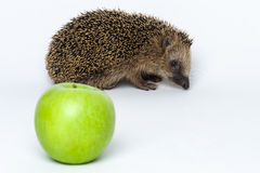 Hedgehogs do not eat apples Royalty Free Stock Photo