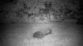 Hedgehogs in garden at night. stock video