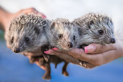 Hedgehogs on the hands. Little cute hedgehogs on hands Royalty Free Stock Image