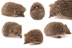 hedgehogs hedgehog Стоковая Фотография