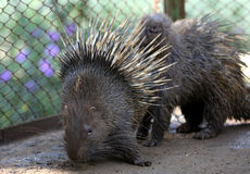 Hedgehogs Royalty Free Stock Photography