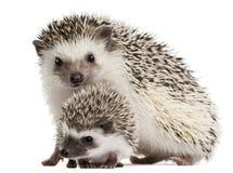 Hedgehogs Quatro-toed, albiventris de Atelerix Fotos de Stock Royalty Free