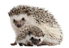 Hedgehogs Quatro-toed, albiventris de Atelerix Imagens de Stock Royalty Free