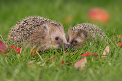 Hedgehogs Royalty Free Stock Photos