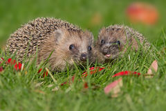 Hedgehogs Royalty Free Stock Image