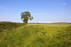 A hedgerow Ash tree in the patchwork English landscape in springtime Royalty Free Stock Images