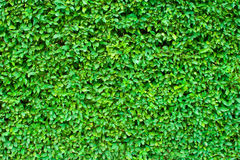 Hedgerow background or wallpaper or texture Royalty Free Stock Photo