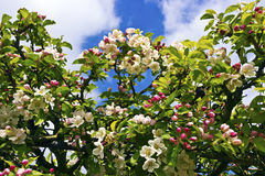 Hedgerow with blossoming crab-apples. Stock Photo